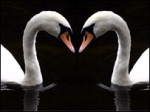 SWANS FORM HEART